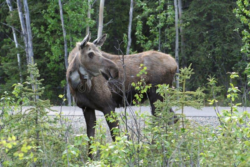 Amerikaanse elanden royalty-vrije stock foto's