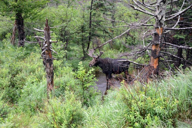 Amerikaanse elanden in Bos royalty-vrije stock afbeeldingen
