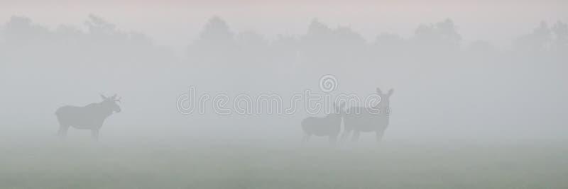 Amerikaanse elanden in de mist stock afbeelding