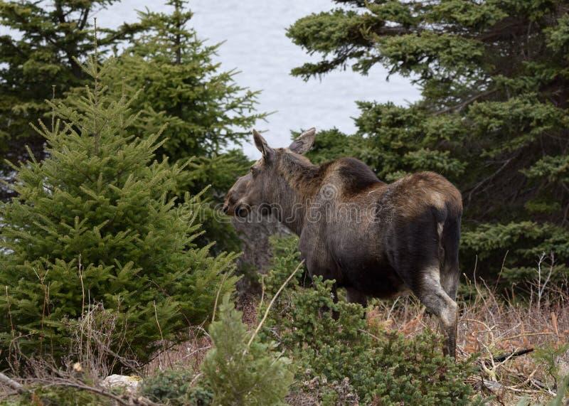 Amerikaanse elanden in het bos dichtbij de oceaan stock foto's