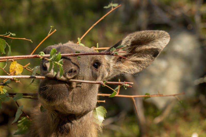 Amerikaanse elanden of het Europese jonge kalf die van elandenalces alces bladeren in bos eten royalty-vrije stock foto's