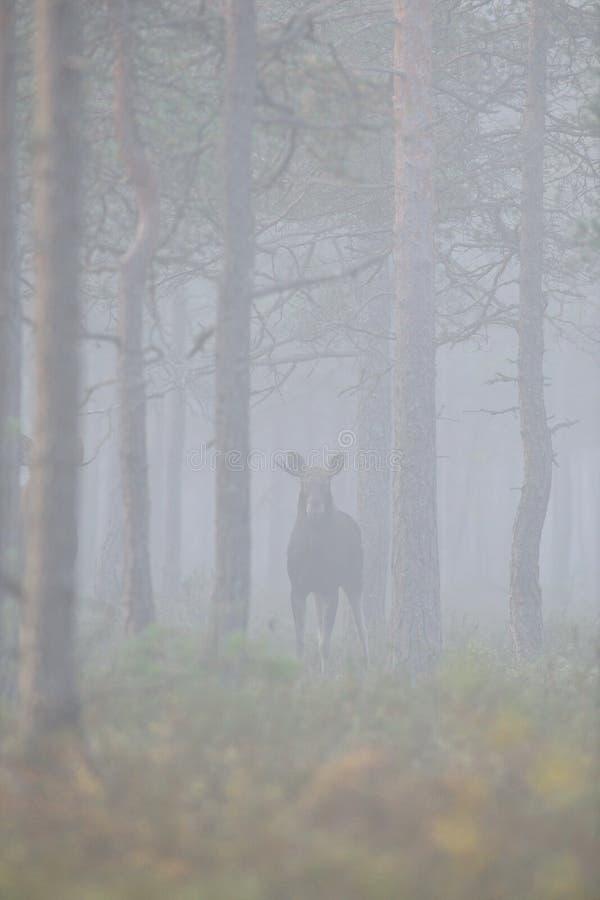 Amerikaanse elanden in het nevelige bos royalty-vrije stock afbeelding