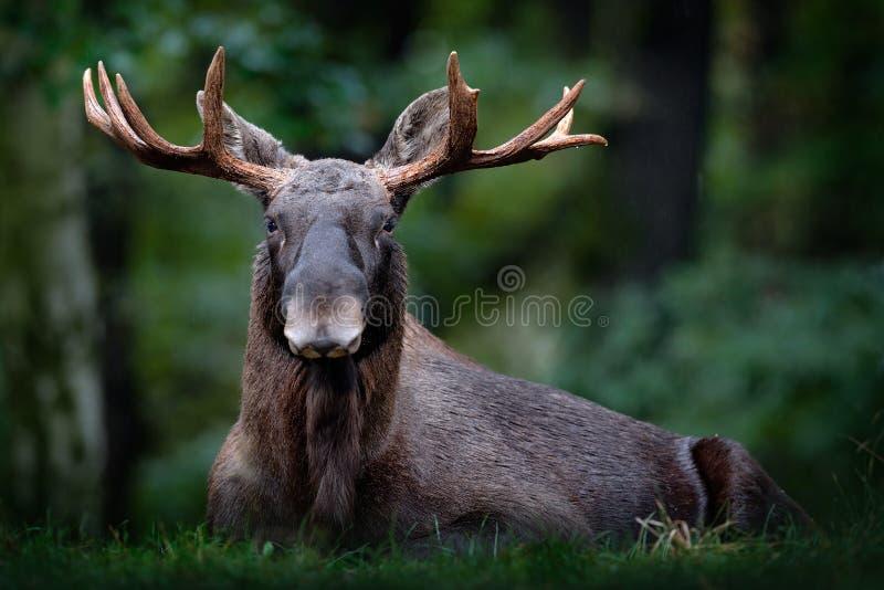 Amerikaanse elanden, Noord-Amerika, of Europees-Aziatische elanden, Eurasia, Alces alces in het donkere bos tijdens regenachtige  royalty-vrije stock afbeeldingen