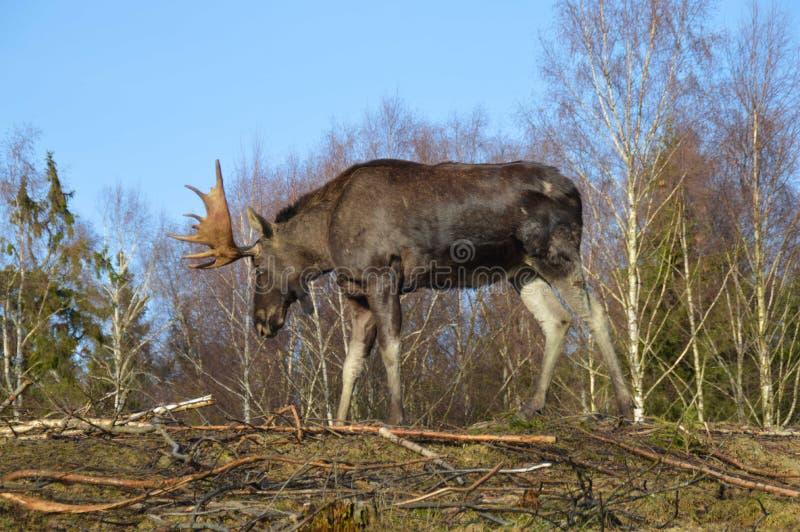 Amerikaanse elanden in Zweeds bos stock fotografie