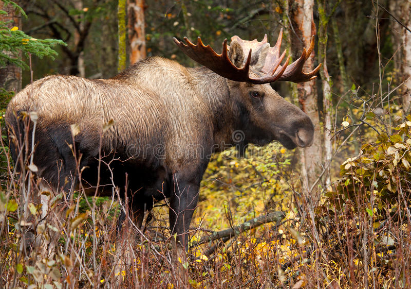 Amerikaanse elandenstier, Mannetje, Alaska, de V.S. royalty-vrije stock afbeeldingen