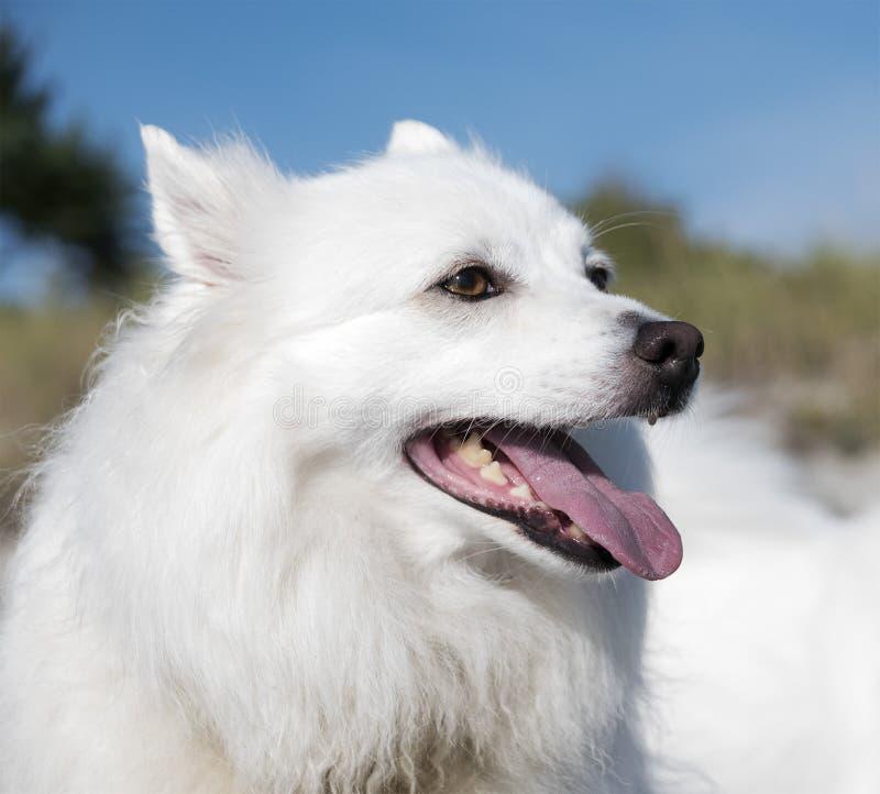 Amerikaanse EskimoHond Gelukkige witte hond stock foto