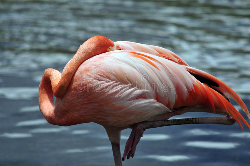 Amerikaanse Flamingo stock afbeelding