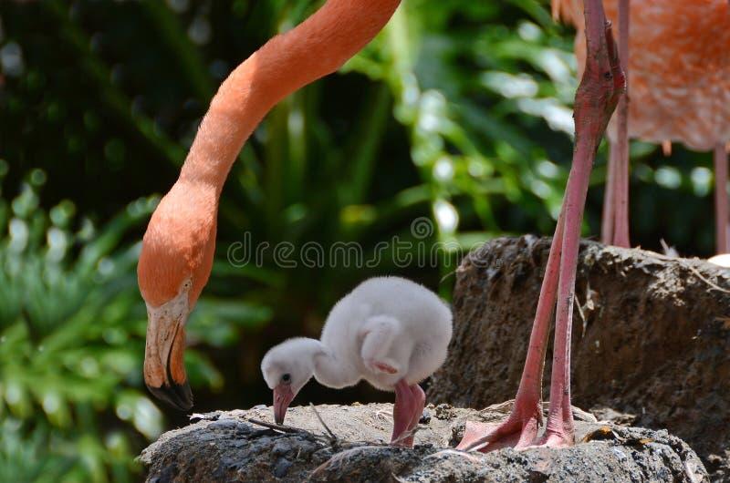 Amerikaanse Flamingo met baby stock afbeelding