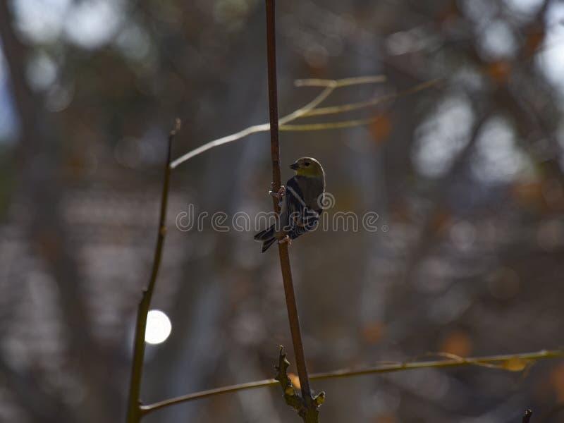 Amerikaanse Goldfinch in Winter plumage doordrenkt en naar buiten gericht royalty-vrije stock fotografie