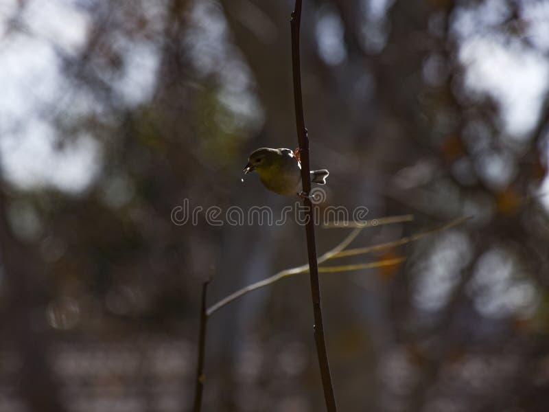 Amerikaanse Goldfinch in Winter plumage doordrenkt en naar de camera gericht stock fotografie