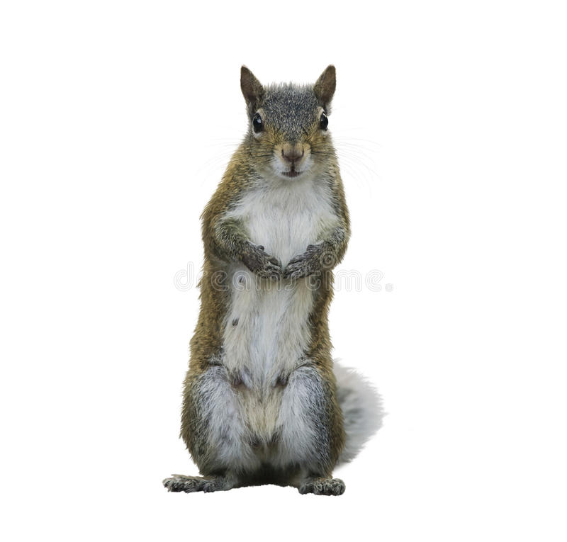 Amerikaanse grijze eekhoorn royalty-vrije stock afbeeldingen