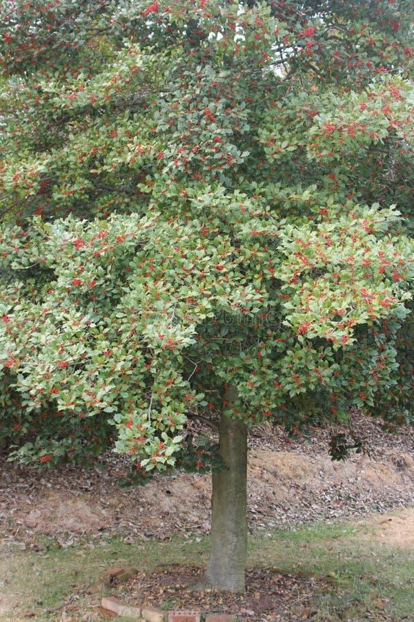 Amerikaanse Holly Tree, stock foto