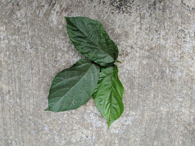Amerikaanse huzelnut groene bladeren stock fotografie