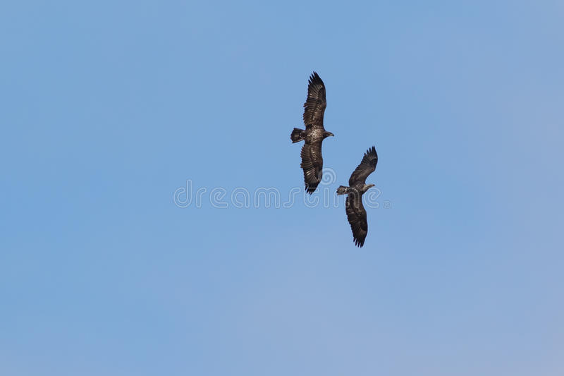 Amerikaanse Junevile Kaal Eagles stock foto