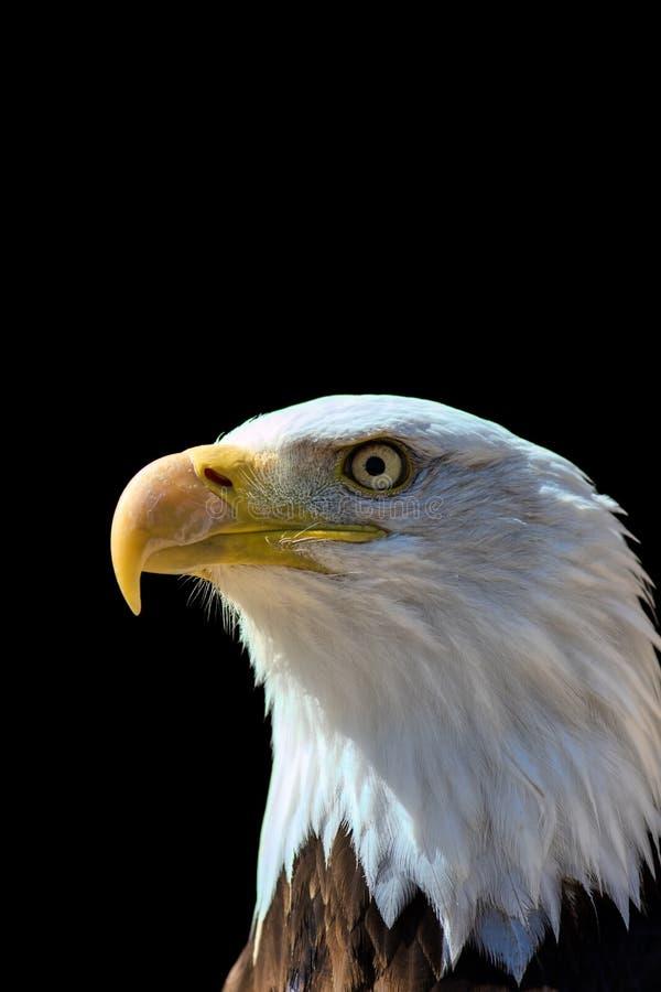 Amerikaanse kale adelaar De trots en het patriottisme van de V.S. in nationale vogel royalty-vrije stock afbeelding