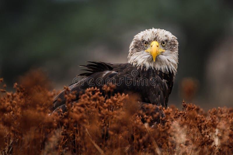Amerikaanse kale adelaar die tegen duidelijke blauwe hemel stijgen van Alaska royalty-vrije stock afbeelding