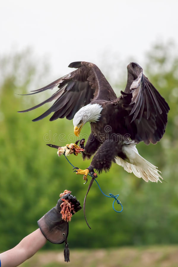 Amerikaanse kale adelaar met valkenier Roofvogel bij valkerij disp royalty-vrije stock afbeeldingen