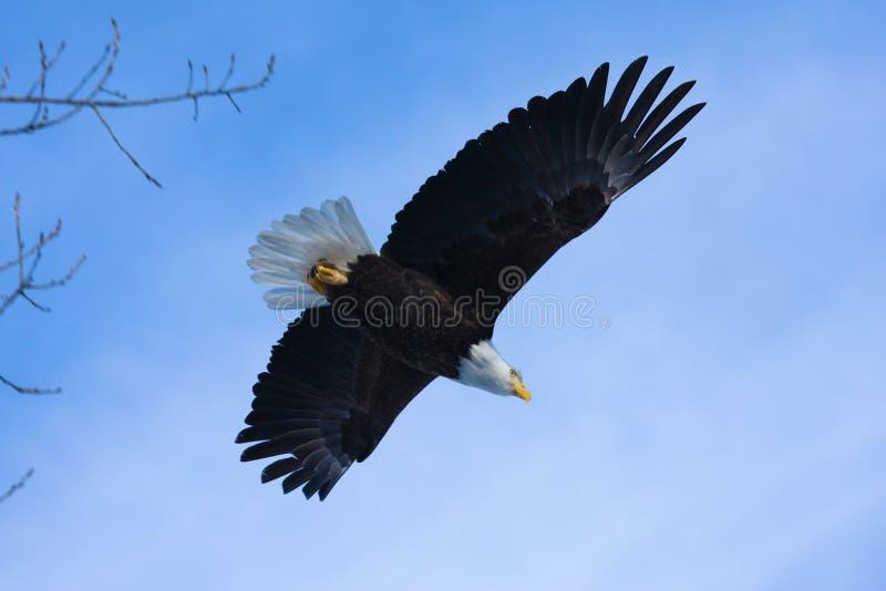 Amerikaanse Kale Adelaar tijdens de vlucht stock afbeelding