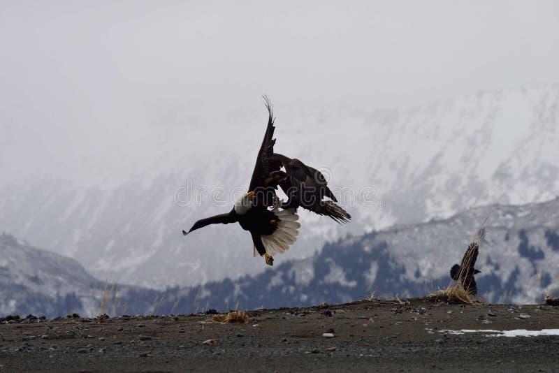 Amerikaanse kale adelaars die voor voedsel vechten stock afbeeldingen