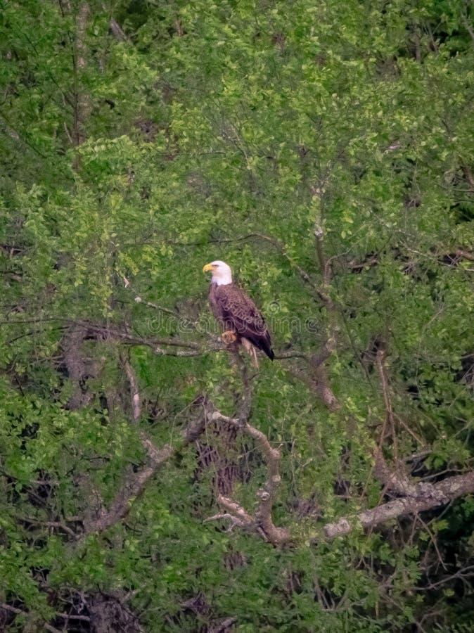 Amerikaanse kale die adelaar in boom wordt neergestreken royalty-vrije stock foto's