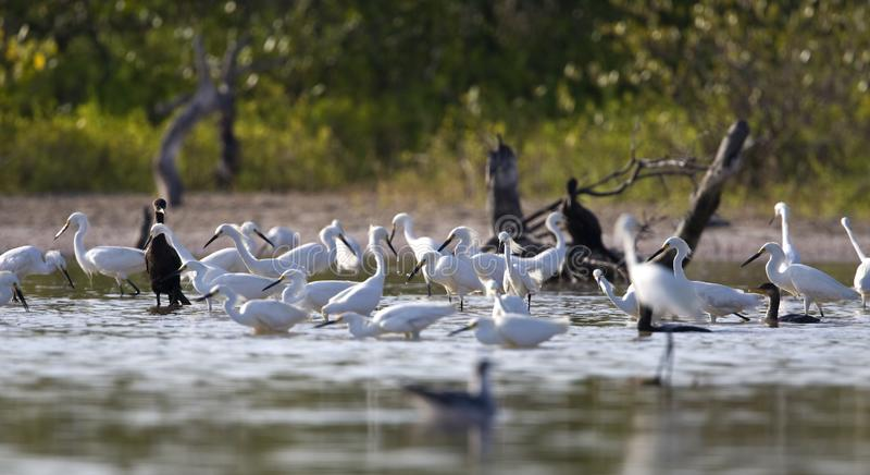 Amerikaanse Kleine Zilverreiger, Śnieżny Egret, Egretta thula zdjęcia stock