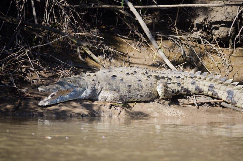 Amerikaanse Krokodil royalty-vrije stock afbeelding
