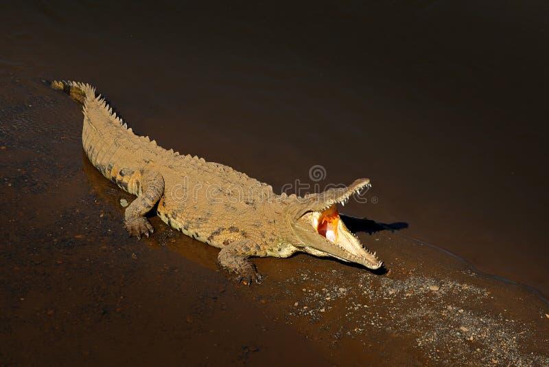 Amerikaanse krokodil, Crocodylus-acutus, dier in het rivierwater Het wildscène van aard Krokodil van rivier Tarcoles, Costa stock fotografie