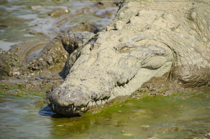 Amerikaanse Krokodil die op het strand zonnen stock foto