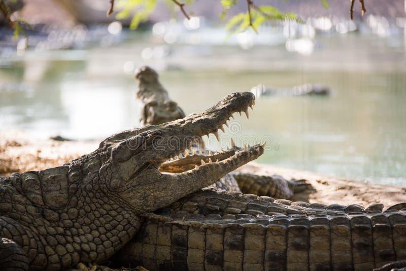 Amerikaanse krokodil twee royalty-vrije stock foto