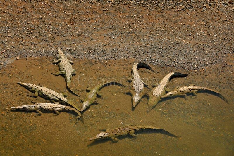 Amerikaanse krokodillen, Crocodylus-acutus, dieren in de rivier Het wildsc?ne van aard Krokodillen van rivier Tarcoles, Costa royalty-vrije stock afbeelding