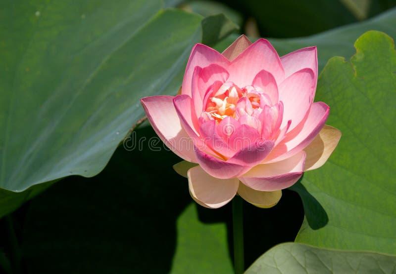 Amerikaanse lotusbloem royalty-vrije stock fotografie