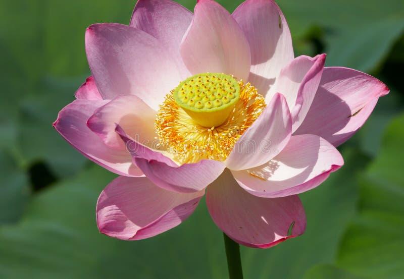 Amerikaanse lotusbloem stock afbeelding