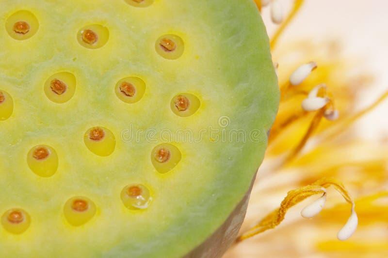 Amerikaanse lotusbloem royalty-vrije stock foto's