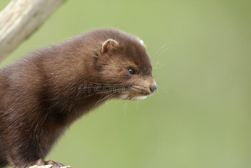 Amerikaanse mink, Mustela vison royalty-vrije stock foto