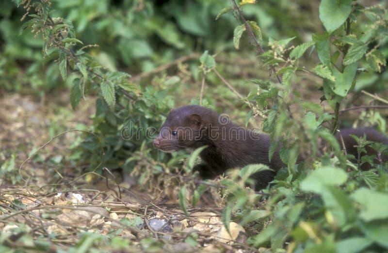 Amerikaanse mink, Mustela vison royalty-vrije stock foto's