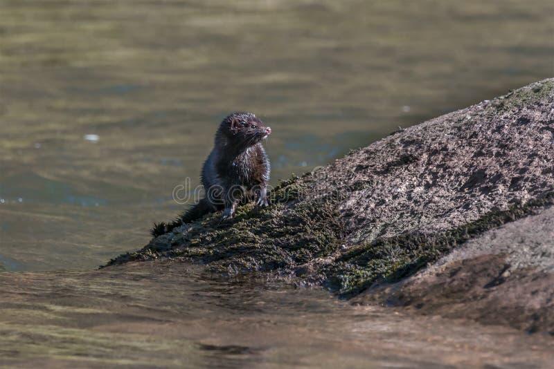 Amerikaanse mink op de Rivier Usk stock afbeelding