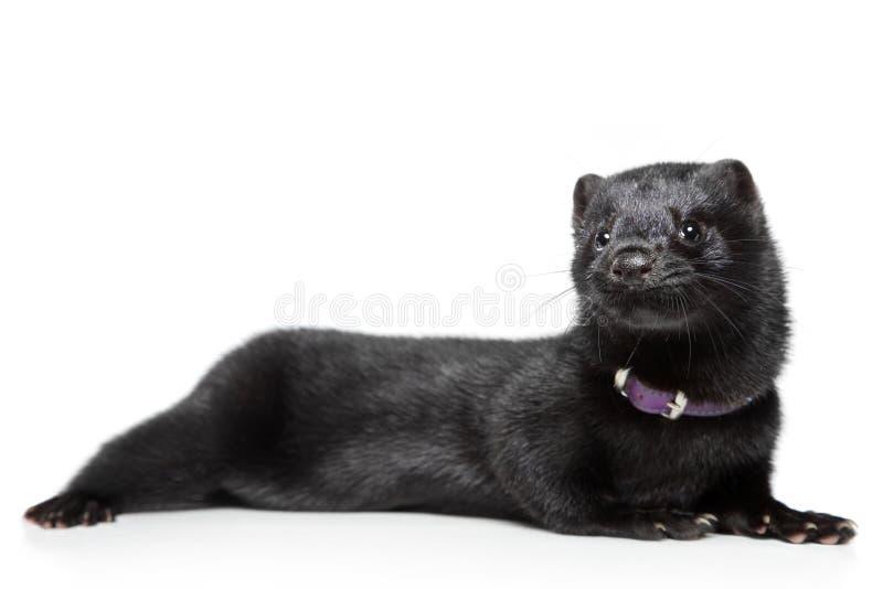 Amerikaanse mink op witte achtergrond royalty-vrije stock afbeelding
