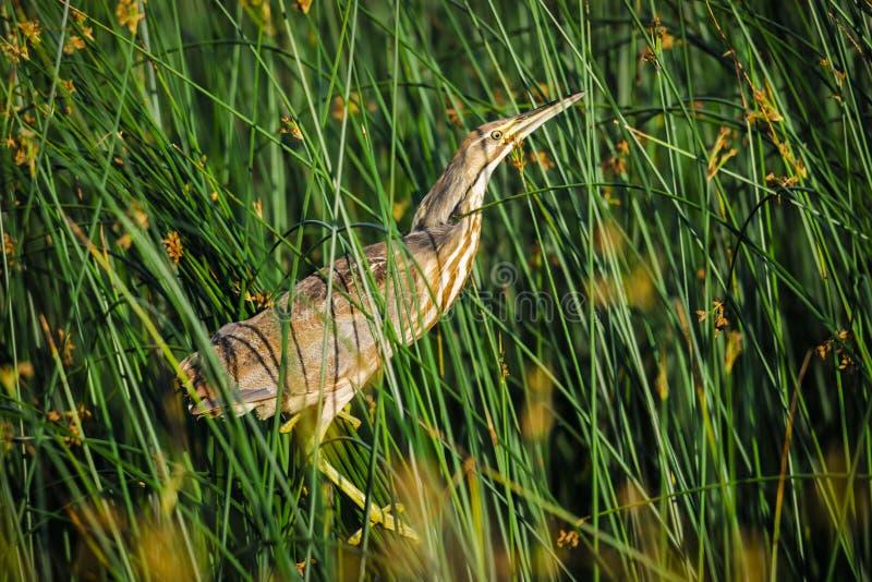 Amerikaanse Moederloog (lentiginosus Botaurus) royalty-vrije stock afbeeldingen
