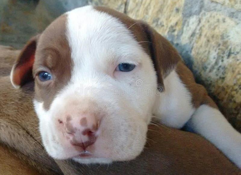 Amerikaanse PitBull Pit Puppies stock afbeelding