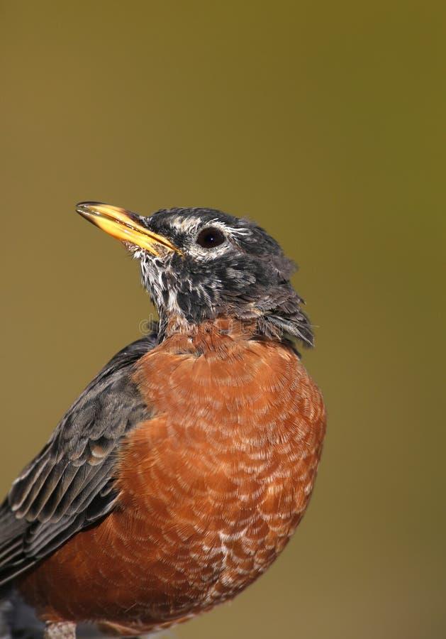 Amerikaanse Robin (migratorius Turdus) royalty-vrije stock afbeelding