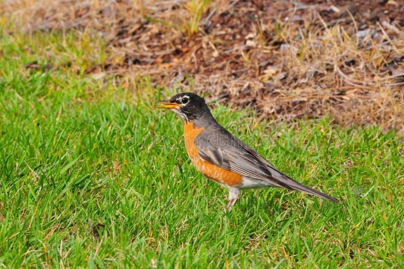 Amerikaanse Robin Turdus-migratorius royalty-vrije stock afbeelding