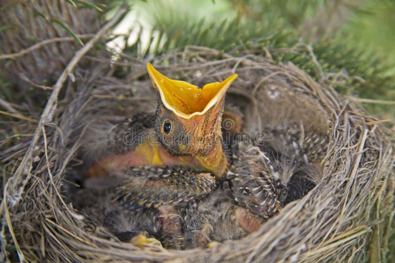 Amerikaanse robins in nest stock foto's