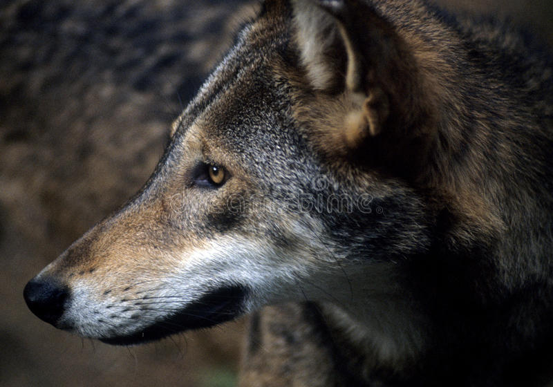 Amerikaanse Rode Wolf royalty-vrije stock foto's