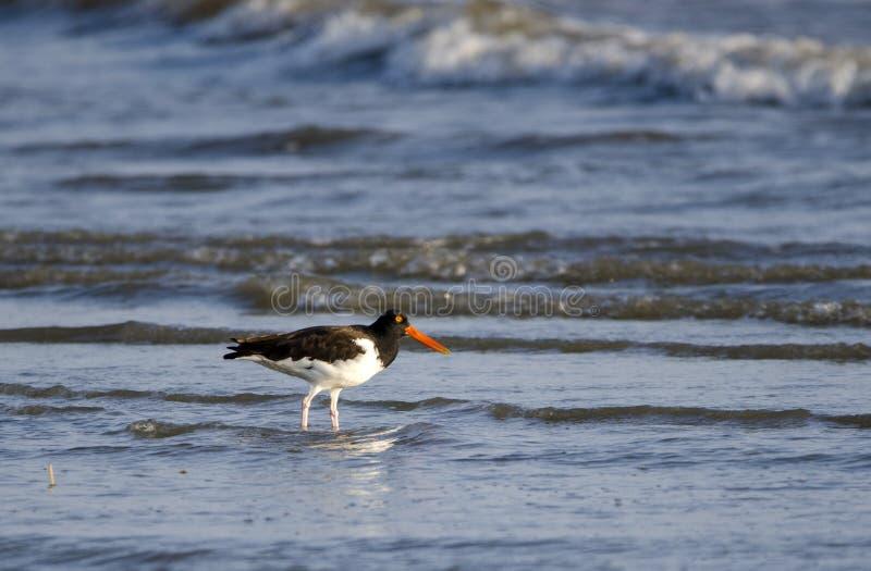 Amerikaanse Scholekster op strand, Hilton Head Island stock fotografie