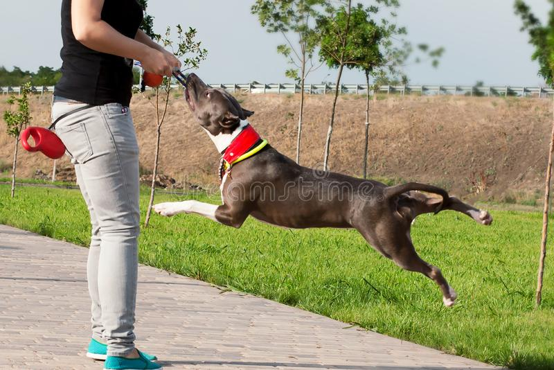 Amerikaanse Stafford Terrier-hond speeltouwtrekwedstrijd royalty-vrije stock fotografie