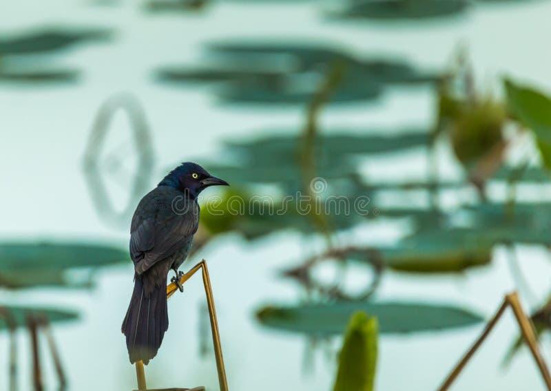 Amerikaanse starling vogel op het meer royalty-vrije stock afbeeldingen