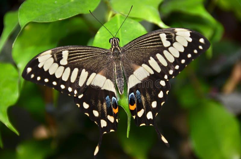 Amerikaanse Swallowtail stock foto's