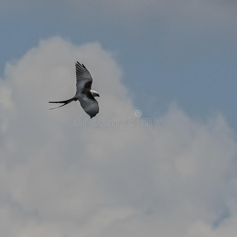 Amerikaanse Swallowtail-Vlieger tijdens de vlucht stock fotografie