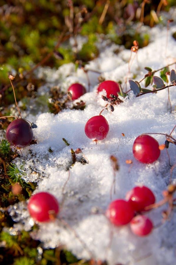 Amerikaanse veenbessen in de sneeuw. stock foto's
