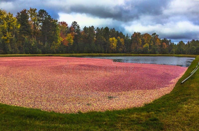 Amerikaanse veenbessen in moeras klaar voor oogst in Wisconsin in de herfst stock foto's